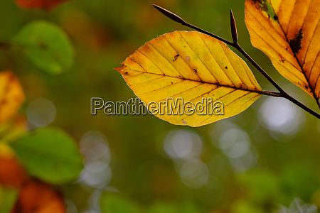beech leaf in yellow autumn colouring