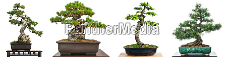 bonsai conifer trees white isolated