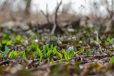 fresh wild garlic in spring