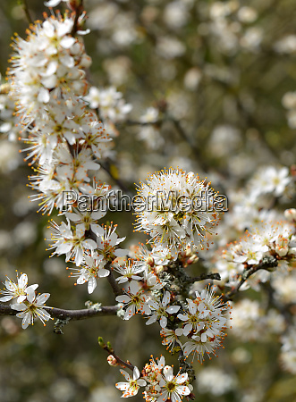 blooming blackthorn on the edge of