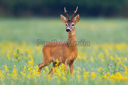 dominant roe deer buck from front