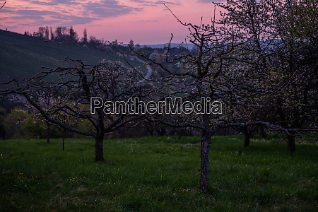 fruit trees in blossom in dawn