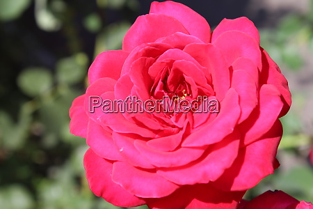 red roses in the garden