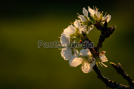 close apple tree twiig with white