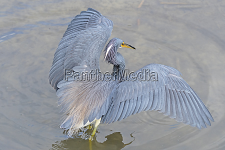 tricolor heron shading its prey in