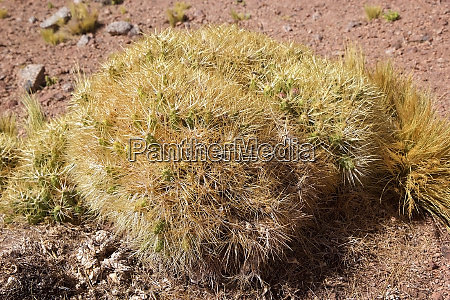 plant in the puna de atacama