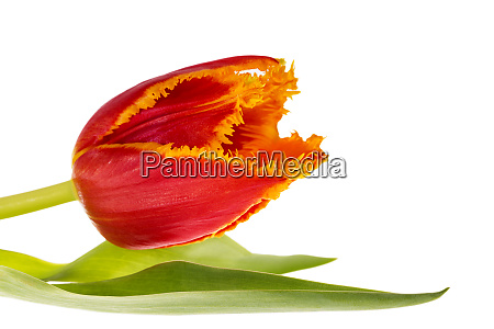 single flower of jagged tulip isolated