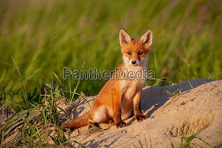 adorable little red fox cub sitting
