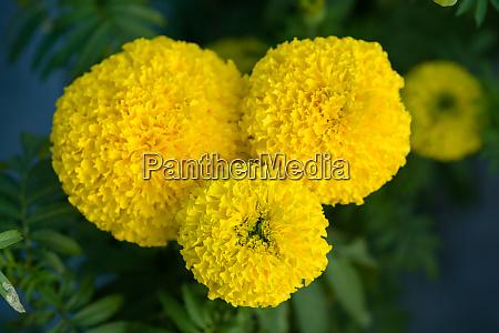 yellow marigolds flower fields selective focus