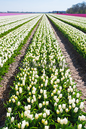 rows of white tulips