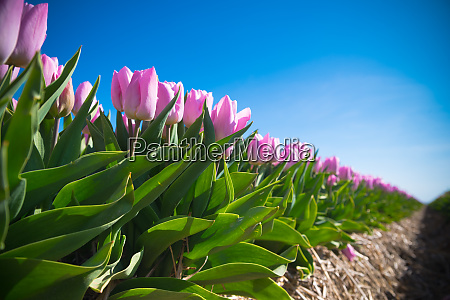 blooming pink tulips