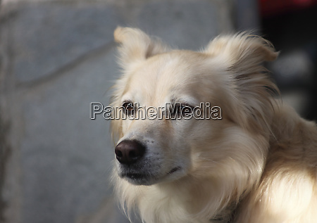 a brown and white dog looking