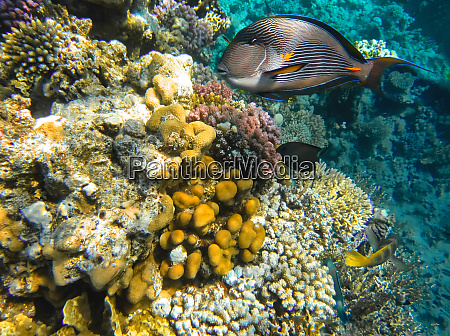 underwater world coral fishes of red