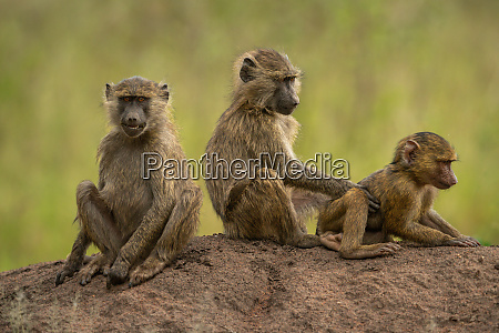 three olive baboons sit on earth