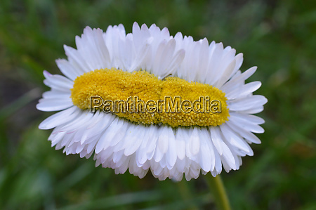 extraordinary daisy quintuple as broad as