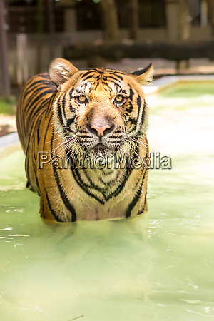 bengal tiger an incredible animal of