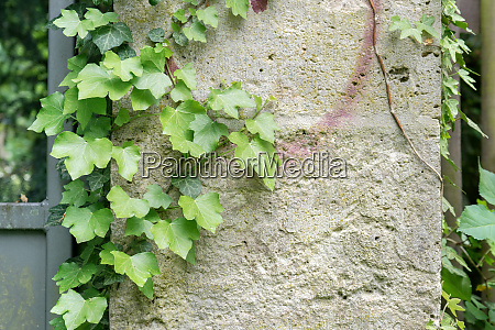 bright wall with ivy