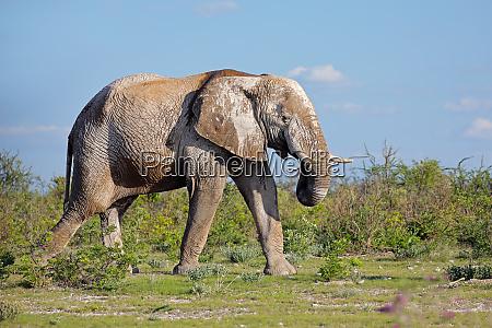 african elephant bull etosha national