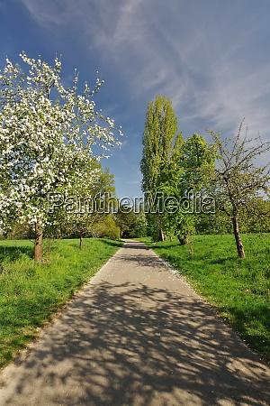 spring in waehrentrup apple blossom tree