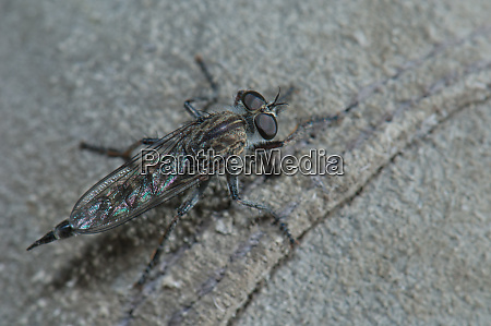 assassin fly in the integral natural