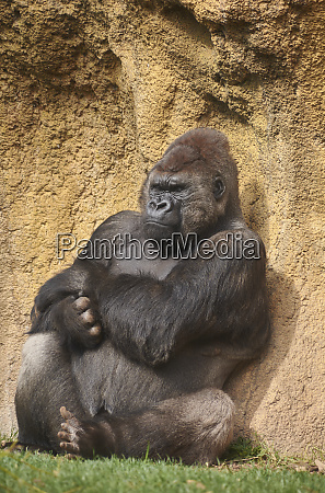 gorilla sunbathing waiting for time to