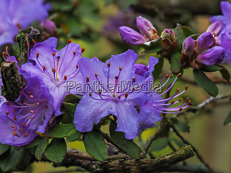 closeup of purple rhododendron flowers and
