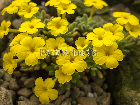yellow flowers of dionysia aretioides an