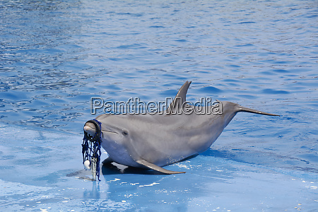 sad dolphin with net on snout