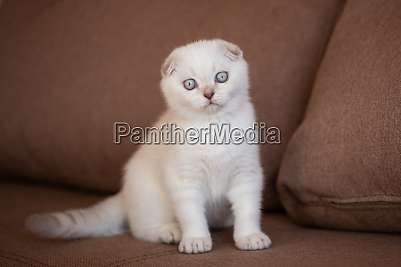 scottish folded cat portrait of baby