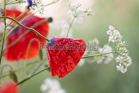 poppy flowers in soft light