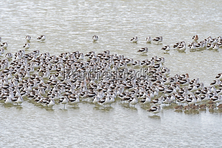 a flock of avocets resting in