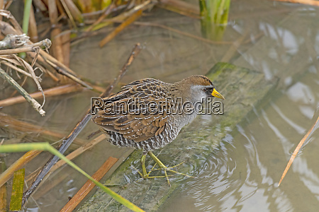a sora searching the wetlands for
