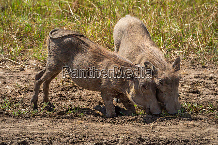 two common warthog graze kneeling in