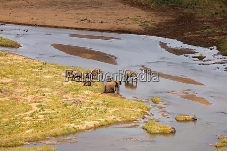 elephants crossing a river kruger