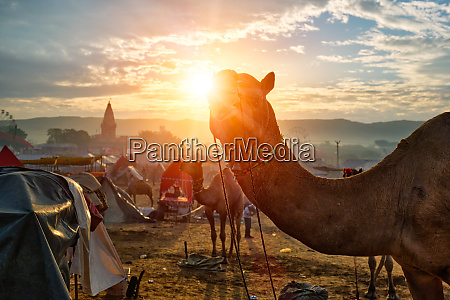 camel at pushkar mela camel fair