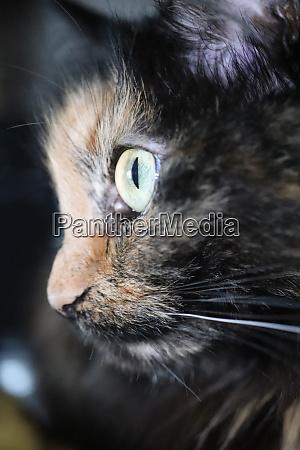 cute kitten face looking cat eyes