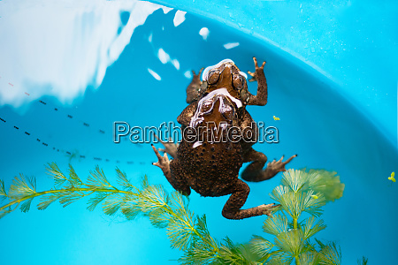toads mating in the water