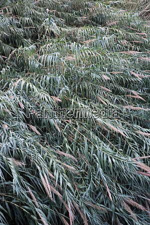 thickets of river reed background
