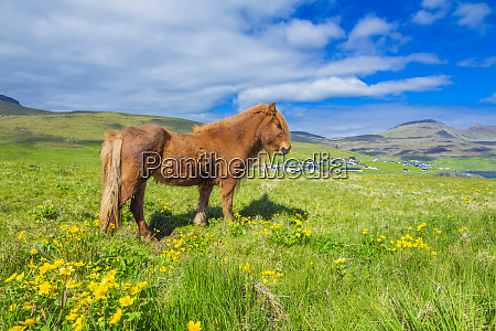 icelandic horse on a summer meadow