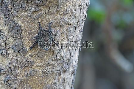 proboscis bat resting in the daytime