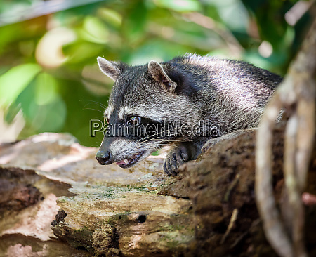 baby racoon in the wild