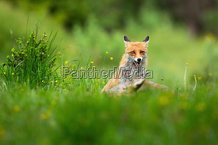 orange red fox sitting near kill