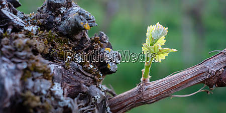 green budding at a gnarled vine