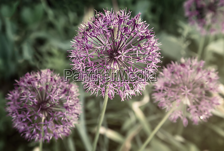 decorative plant onion christoph with spherical