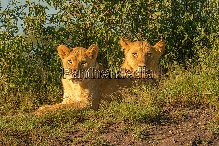 two lionesses lie by bushes watching