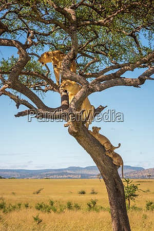 two lionesses sit in tree with