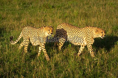 two male cheetah walk through sunlit