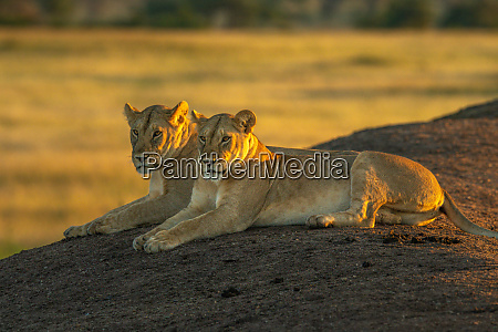 two lionesses lie on bank at