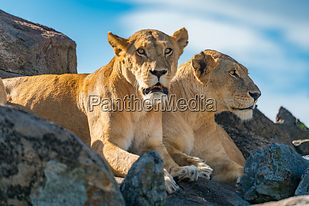 two lionesses lie on rock looking