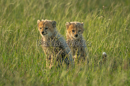 two young cheetah cubs sit in